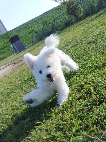 ビションフリーゼこいぬ子犬フントヒュッテ東京かわいいビションフリーゼ関東ビション文京区ビションフリーゼ画像ビションフリーゼおんなのこ姉妹メス子犬_631.jpg