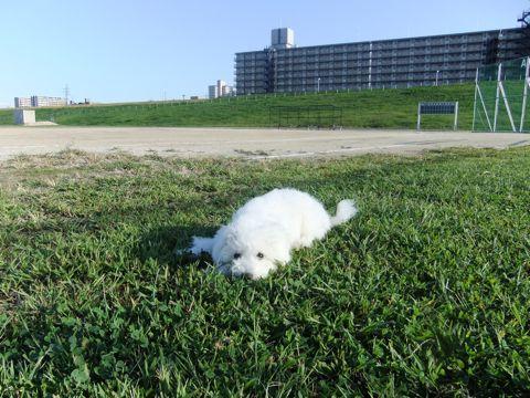 ビションフリーゼこいぬ子犬フントヒュッテ東京かわいいビションフリーゼ関東ビション文京区ビションフリーゼ画像ビションフリーゼおんなのこ姉妹メス子犬_632.jpg