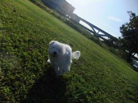 ビションフリーゼこいぬ子犬フントヒュッテ東京かわいいビションフリーゼ関東ビション文京区ビションフリーゼ画像ビションフリーゼおんなのこ姉妹メス子犬_634.jpg