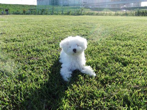 ビションフリーゼこいぬ子犬フントヒュッテ東京かわいいビションフリーゼ関東ビション文京区ビションフリーゼ画像ビションフリーゼおんなのこ姉妹メス子犬_635.jpg