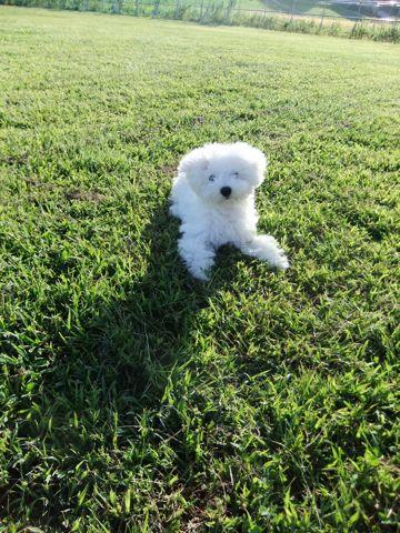 ビションフリーゼこいぬ子犬フントヒュッテ東京かわいいビションフリーゼ関東ビション文京区ビションフリーゼ画像ビションフリーゼおんなのこ姉妹メス子犬_636.jpg