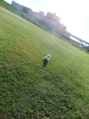 ビションフリーゼこいぬ子犬フントヒュッテ東京かわいいビションフリーゼ関東ビション文京区ビションフリーゼ画像ビションフリーゼおんなのこ姉妹メス子犬_637.jpg