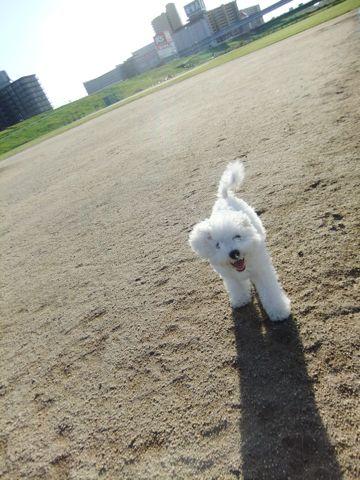 ビションフリーゼこいぬ子犬フントヒュッテ東京かわいいビションフリーゼ関東ビション文京区ビションフリーゼ画像ビションフリーゼおんなのこ姉妹メス子犬_641.jpg