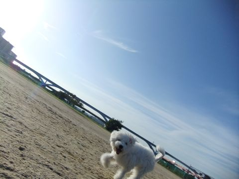 ビションフリーゼこいぬ子犬フントヒュッテ東京かわいいビションフリーゼ関東ビション文京区ビションフリーゼ画像ビションフリーゼおんなのこ姉妹メス子犬_642.jpg