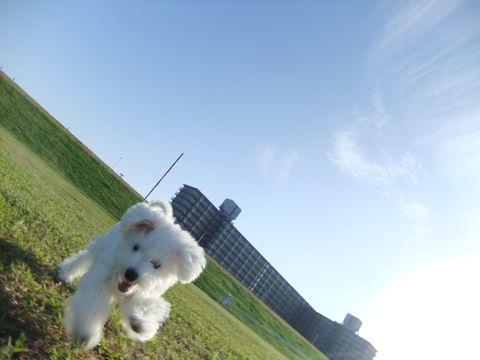 ビションフリーゼこいぬ子犬フントヒュッテ東京かわいいビションフリーゼ関東ビション文京区ビションフリーゼ画像ビションフリーゼおんなのこ姉妹メス子犬_648.jpg