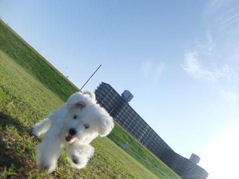 ビションフリーゼこいぬ子犬フントヒュッテ東京かわいいビションフリーゼ関東ビション文京区ビションフリーゼ画像ビションフリーゼおんなのこ姉妹メス子犬_649.jpg