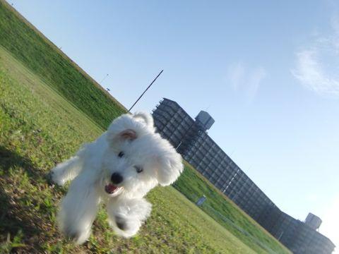 ビションフリーゼこいぬ子犬フントヒュッテ東京かわいいビションフリーゼ関東ビション文京区ビションフリーゼ画像ビションフリーゼおんなのこ姉妹メス子犬_650.jpg