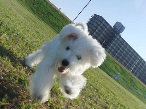 ビションフリーゼこいぬ子犬フントヒュッテ東京かわいいビションフリーゼ関東ビション文京区ビションフリーゼ画像ビションフリーゼおんなのこ姉妹メス子犬_651.jpg