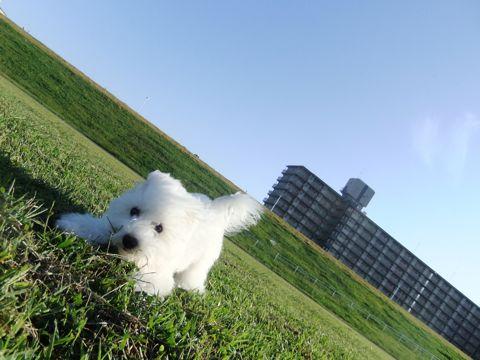 ビションフリーゼこいぬ子犬フントヒュッテ東京かわいいビションフリーゼ関東ビション文京区ビションフリーゼ画像ビションフリーゼおんなのこ姉妹メス子犬_652.jpg