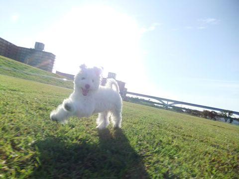 ビションフリーゼこいぬ子犬フントヒュッテ東京かわいいビションフリーゼ関東ビション文京区ビションフリーゼ画像ビションフリーゼおんなのこ姉妹メス子犬_655.jpg