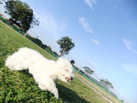 ビションフリーゼこいぬ子犬フントヒュッテ東京かわいいビションフリーゼ関東ビション文京区ビションフリーゼ画像ビションフリーゼおんなのこ姉妹メス子犬_657.jpg