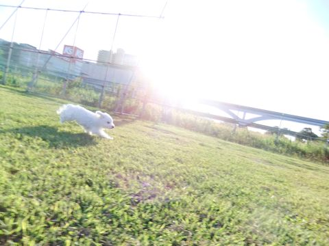 ビションフリーゼこいぬ子犬フントヒュッテ東京かわいいビションフリーゼ関東ビション文京区ビションフリーゼ画像ビションフリーゼおんなのこ姉妹メス子犬_658.jpg