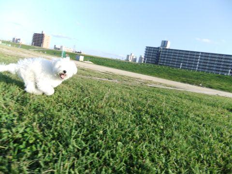 ビションフリーゼこいぬ子犬フントヒュッテ東京かわいいビションフリーゼ関東ビション文京区ビションフリーゼ画像ビションフリーゼおんなのこ姉妹メス子犬_659.jpg