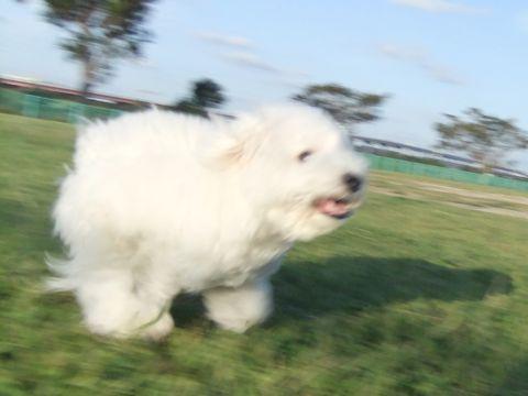 ビションフリーゼこいぬ子犬フントヒュッテ東京かわいいビションフリーゼ関東ビション文京区ビションフリーゼ画像ビションフリーゼおんなのこ姉妹メス子犬_663.jpg