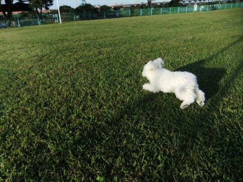 ビションフリーゼこいぬ子犬フントヒュッテ東京かわいいビションフリーゼ関東ビション文京区ビションフリーゼ画像ビションフリーゼおんなのこ姉妹メス子犬_664.jpg