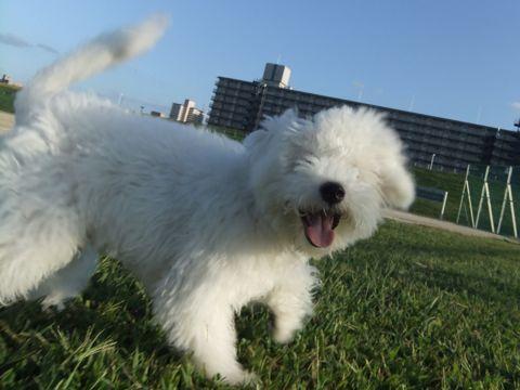 ビションフリーゼこいぬ子犬フントヒュッテ東京かわいいビションフリーゼ関東ビション文京区ビションフリーゼ画像ビションフリーゼおんなのこ姉妹メス子犬_665.jpg