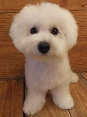 ビションフリーゼこいぬ子犬フントヒュッテ東京かわいいビションフリーゼ関東ビション文京区ビションフリーゼ画像ビションフリーゼおんなのこ姉妹メス子犬_666.jpg