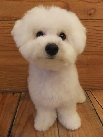 ビションフリーゼこいぬ子犬フントヒュッテ東京かわいいビションフリーゼ関東ビション文京区ビションフリーゼ画像ビションフリーゼおんなのこ姉妹メス子犬_668.jpg