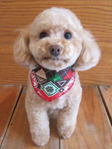 トイプードルトリミング文京区フントヒュッテ都内トリミングサロン東京かわいいトイプードル画像トイプードルカット画像駒込犬カットモデル関東Toy Poodle28.jpg