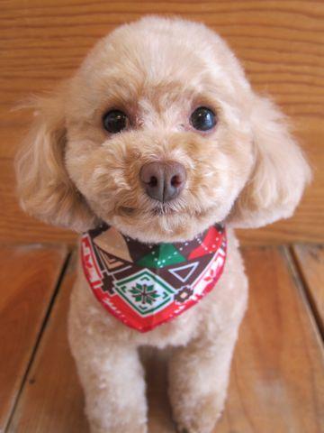 トイプードルトリミング文京区フントヒュッテ都内トリミングサロン東京かわいいトイプードル画像トイプードルカット画像駒込犬カットモデル関東Toy Poodle29.jpg