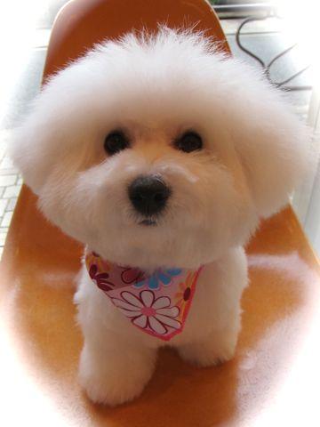 ビションフリーゼフントヒュッテ東京かわいいビションフリーゼ子犬関東こいぬ文京区hundehutteビションフリーゼ画像Bichon Friseビションフリーゼおんなのこメス子犬 f.jpg