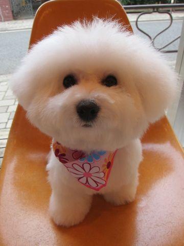 ビションフリーゼフントヒュッテ東京かわいいビションフリーゼ子犬関東こいぬ文京区hundehutteビションフリーゼ画像Bichon Friseビションフリーゼおんなのこメス子犬 g.jpg