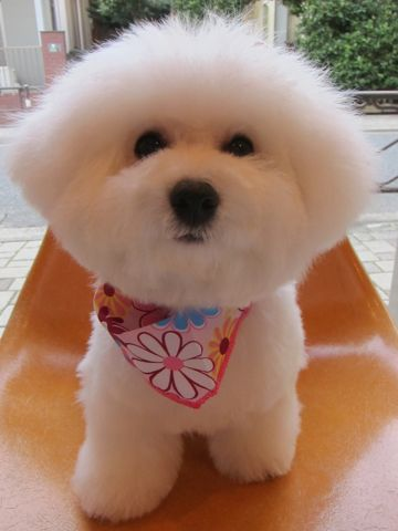 ビションフリーゼフントヒュッテ東京かわいいビションフリーゼ子犬関東こいぬ文京区hundehutteビションフリーゼ画像Bichon Friseビションフリーゼおんなのこメス子犬 i.jpg