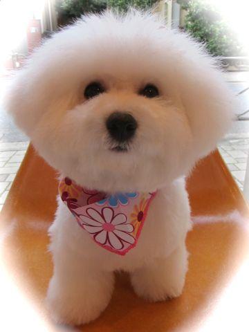 ビションフリーゼフントヒュッテ東京かわいいビションフリーゼ子犬関東こいぬ文京区hundehutteビションフリーゼ画像Bichon Friseビションフリーゼおんなのこメス子犬 j.jpg