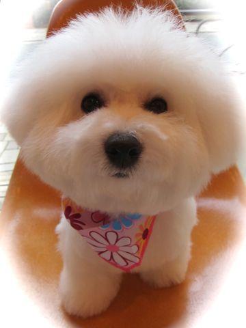 ビションフリーゼフントヒュッテ東京かわいいビションフリーゼ子犬関東こいぬ文京区hundehutteビションフリーゼ画像Bichon Friseビションフリーゼおんなのこメス子犬 l.jpg