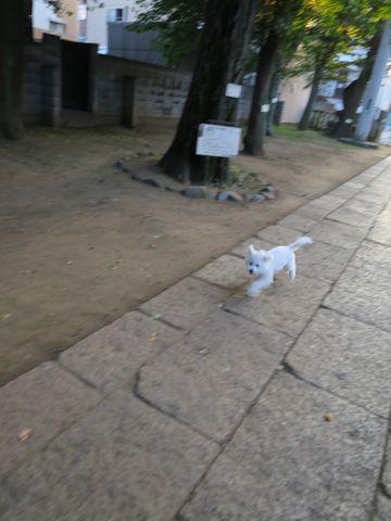 ビションフリーゼこいぬ子犬フントヒュッテ東京かわいいビションフリーゼ関東ビション文京区ビションフリーゼ画像ビションフリーゼおんなのこ姉妹メス子犬_669.jpg