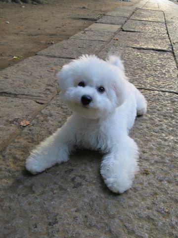 ビションフリーゼこいぬ子犬フントヒュッテ東京かわいいビションフリーゼ関東ビション文京区ビションフリーゼ画像ビションフリーゼおんなのこ姉妹メス子犬_674.jpg