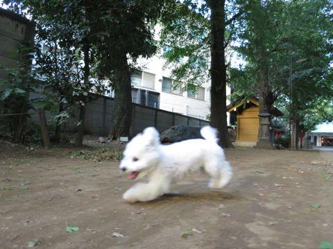 ビションフリーゼこいぬ子犬フントヒュッテ東京かわいいビションフリーゼ関東ビション文京区ビションフリーゼ画像ビションフリーゼおんなのこ姉妹メス子犬_675.jpg