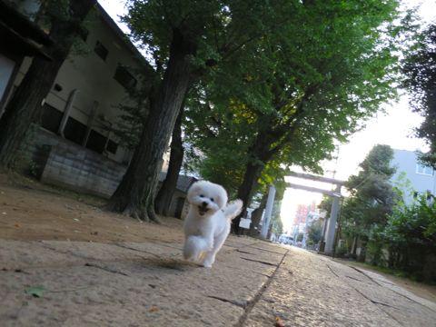 ビションフリーゼこいぬ子犬フントヒュッテ東京かわいいビションフリーゼ関東ビション文京区ビションフリーゼ画像ビションフリーゼおんなのこ姉妹メス子犬_676.jpg