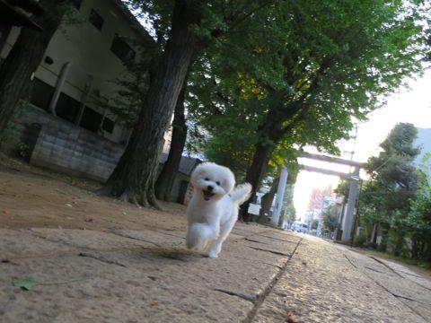 ビションフリーゼこいぬ子犬フントヒュッテ東京かわいいビションフリーゼ関東ビション文京区ビションフリーゼ画像ビションフリーゼおんなのこ姉妹メス子犬_677.jpg