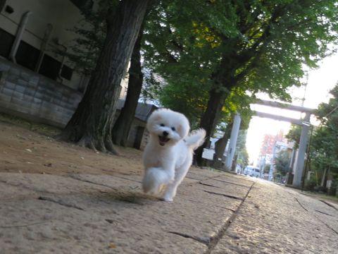ビションフリーゼこいぬ子犬フントヒュッテ東京かわいいビションフリーゼ関東ビション文京区ビションフリーゼ画像ビションフリーゼおんなのこ姉妹メス子犬_678.jpg