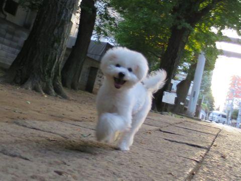 ビションフリーゼこいぬ子犬フントヒュッテ東京かわいいビションフリーゼ関東ビション文京区ビションフリーゼ画像ビションフリーゼおんなのこ姉妹メス子犬_679.jpg