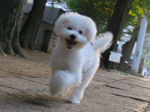 ビションフリーゼこいぬ子犬フントヒュッテ東京かわいいビションフリーゼ関東ビション文京区ビションフリーゼ画像ビションフリーゼおんなのこ姉妹メス子犬_680.jpg
