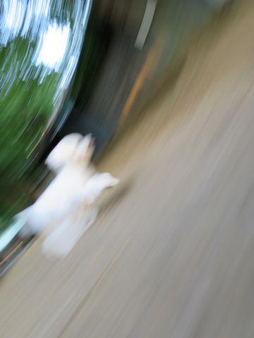 ビションフリーゼこいぬ子犬フントヒュッテ東京かわいいビションフリーゼ関東ビション文京区ビションフリーゼ画像ビションフリーゼおんなのこ姉妹メス子犬_670.jpg