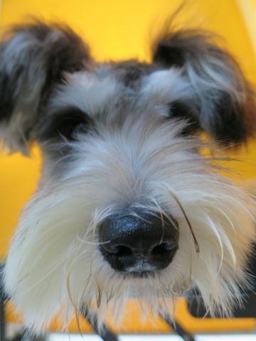 シュナトリミング文京区ミニチュアシュナウザー生後8ヶ月トリミング東京シュナウザートリミングモデル駒込フントヒュッテ初回割引新規Mシュナウザーこいぬ子犬画像2.jpg
