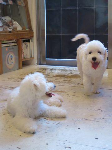 ビションフリーゼこいぬ子犬フントヒュッテ東京かわいいビションフリーゼ関東ビション文京区ビションフリーゼ画像ビションフリーゼおんなのこ姉妹メス子犬_684.jpg