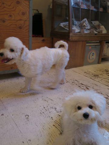ビションフリーゼこいぬ子犬フントヒュッテ東京かわいいビションフリーゼ関東ビション文京区ビションフリーゼ画像ビションフリーゼおんなのこ姉妹メス子犬_686.jpg