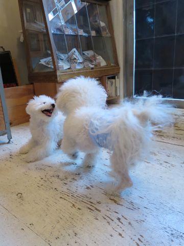 ビションフリーゼこいぬ子犬フントヒュッテ東京かわいいビションフリーゼ関東ビション文京区ビションフリーゼ画像ビションフリーゼおんなのこ姉妹メス子犬_687.jpg