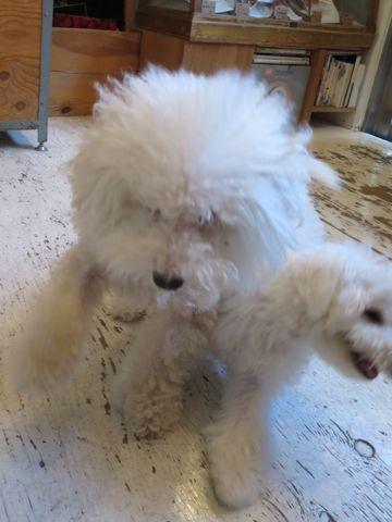 ビションフリーゼこいぬ子犬フントヒュッテ東京かわいいビションフリーゼ関東ビション文京区ビションフリーゼ画像ビションフリーゼおんなのこ姉妹メス子犬_689.jpg