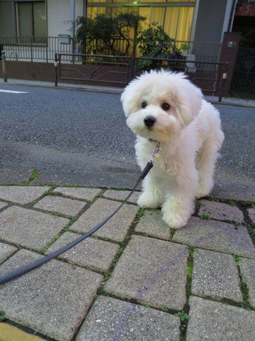 ビションフリーゼこいぬ子犬フントヒュッテ東京かわいいビションフリーゼ関東ビション文京区ビションフリーゼ画像ビションフリーゼおんなのこ姉妹メス子犬_696.jpg