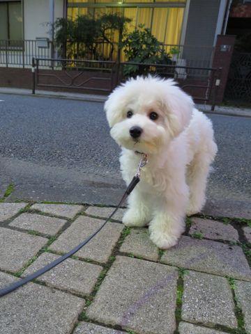 ビションフリーゼこいぬ子犬フントヒュッテ東京かわいいビションフリーゼ関東ビション文京区ビションフリーゼ画像ビションフリーゼおんなのこ姉妹メス子犬_697.jpg
