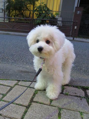 ビションフリーゼこいぬ子犬フントヒュッテ東京かわいいビションフリーゼ関東ビション文京区ビションフリーゼ画像ビションフリーゼおんなのこ姉妹メス子犬_698.jpg
