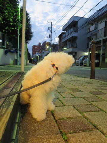 ビションフリーゼこいぬ子犬フントヒュッテ東京かわいいビションフリーゼ関東ビション文京区ビションフリーゼ画像ビションフリーゼおんなのこ姉妹メス子犬_701.jpg