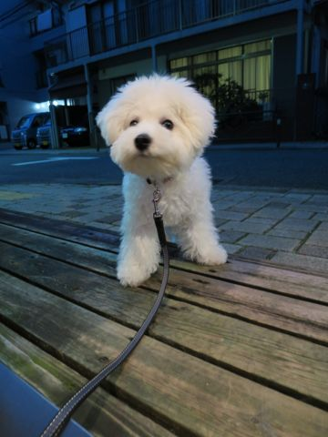 ビションフリーゼこいぬ子犬フントヒュッテ東京かわいいビションフリーゼ関東ビション文京区ビションフリーゼ画像ビションフリーゼおんなのこ姉妹メス子犬_702.jpg