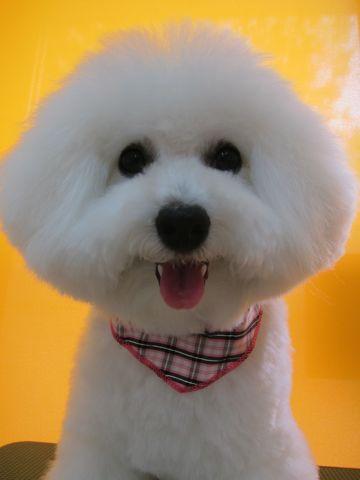 ビションフリーゼフントヒュッテ東京かわいいビションフリーゼ子犬関東こいぬ文京区hundehutteビションフリーゼ画像Bichon Friseビションフリーゼおんなのこメス子犬 p.jpg