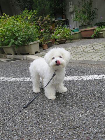 ビションフリーゼこいぬ子犬フントヒュッテ東京かわいいビションフリーゼ関東ビション文京区ビションフリーゼ画像ビションフリーゼおんなのこ姉妹メス子犬_705.jpg